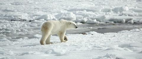 Surviving Polar Bears and Other Small Things