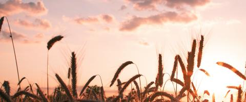 Wheat during Sunset