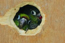 Green birds looking outside of a hole
